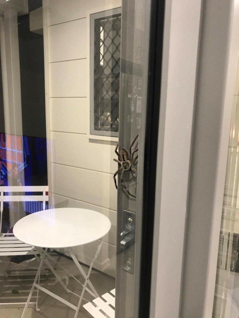 Этот членистоногий несколько часов держал в ужасе семью из Квинсленда  австралия, мир, новости, опасность, паук, фото, человек