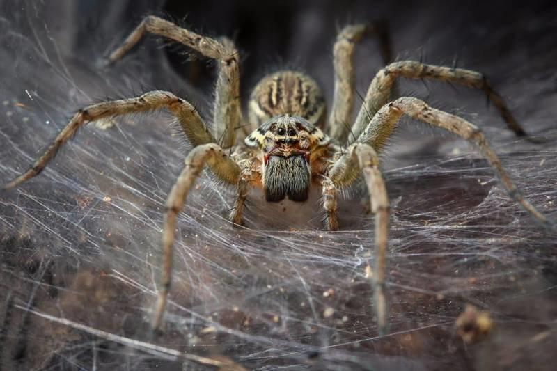 Пауки способны уничтожить население Австралии за год, но для этого им потребуется объединиться австралия, мир, новости, опасность, паук, фото, человек