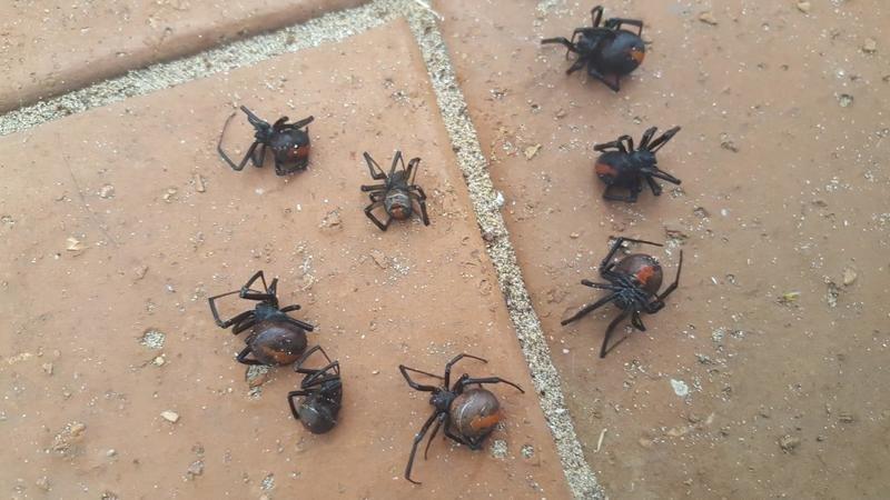 Восемь ядовитых пауков вида австралийская вдова на подоконнике после проливного дождя в Виктории  австралия, мир, новости, опасность, паук, фото, человек