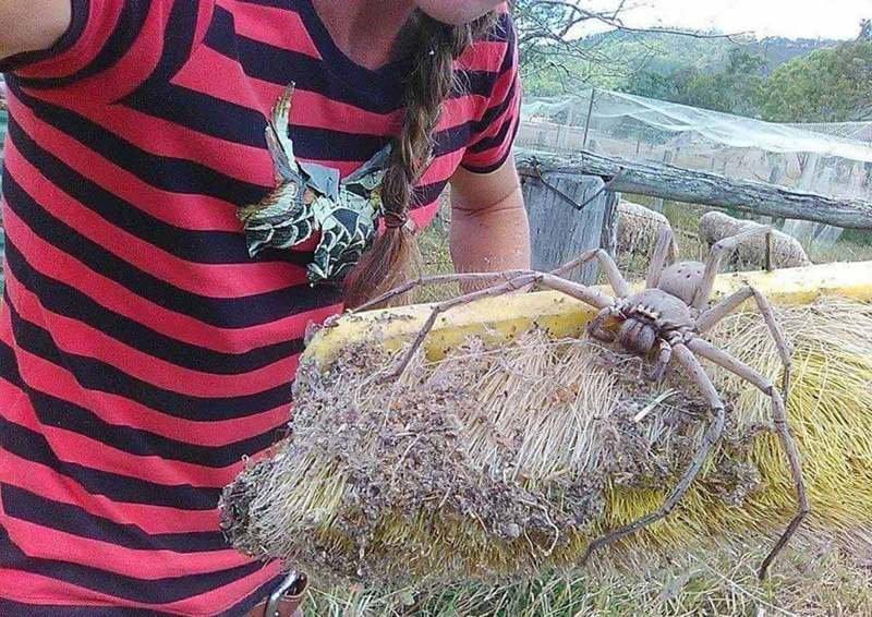 Сотрудница Службы спасения животных сфотографировала в Квинсленде гигантского паука-охотника австралия, мир, новости, опасность, паук, фото, человек
