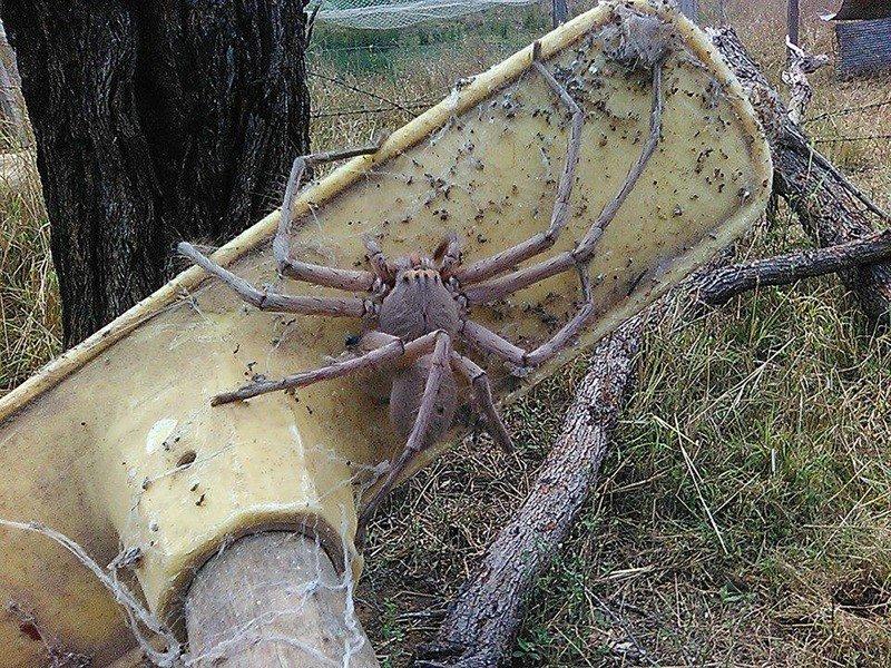 Популяция пауков способна уничтожить население Австралии за год австралия, мир, новости, опасность, паук, фото, человек