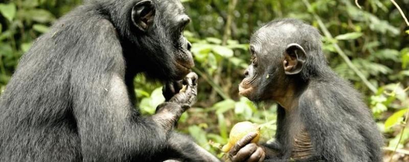 Бонобо сексуальность человека