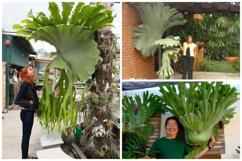 Платицериум, или «Олений рог», или Плоскорог (лат. Platycerium) — род папоротников семейства Многоножковые (Polypodiaceae) интересное, красиво, природа, растения, удивительно, факты