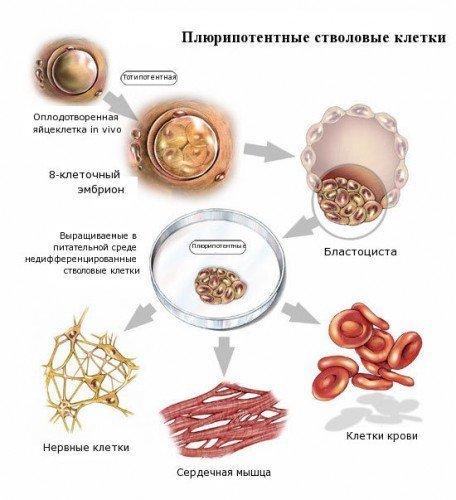 """4. Получение стволовых клеток """"этичным"""" путем гипотезы, наука, нобелевская премия, открытия, ученые"""
