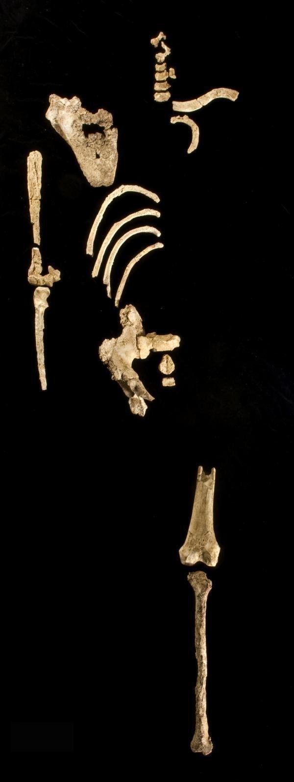"""7. Найден австралопитек Кадануумуу (""""Большой человек"""") гипотезы, наука, нобелевская премия, открытия, ученые"""