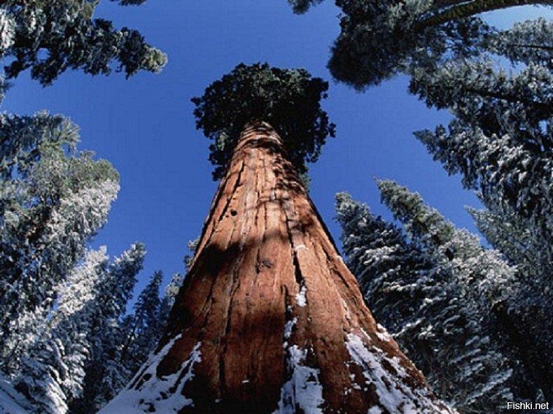 кадрирование, дерево генерал шерман картинки каждая часть своем