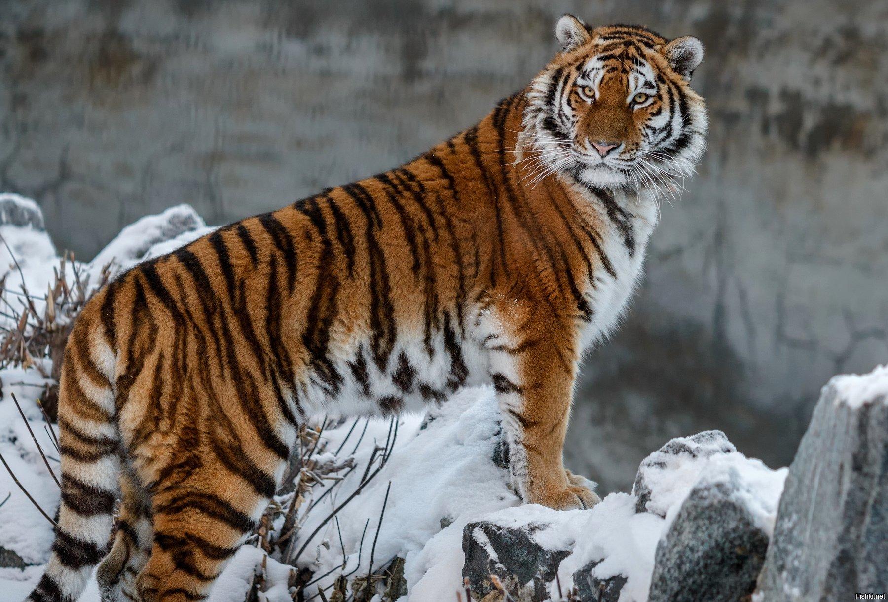 вами картинки про амурские тигры ударившись головой