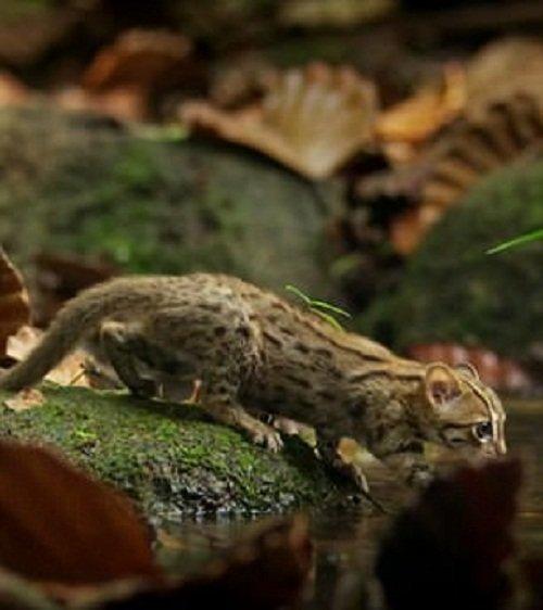 Познакомьтесь с самой маленькой дикой кошкой в мире! животные, индия, кошки, маленький хищник, пятнисто-рыжая кошка, редкое животное, ржавая кошка, шри-ланка