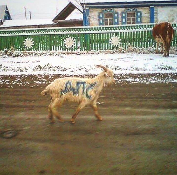 Где козлы это не всегда они самые, а ослы требуют особой мойки? всячина, подборка, россия, такое только у нас, юмор