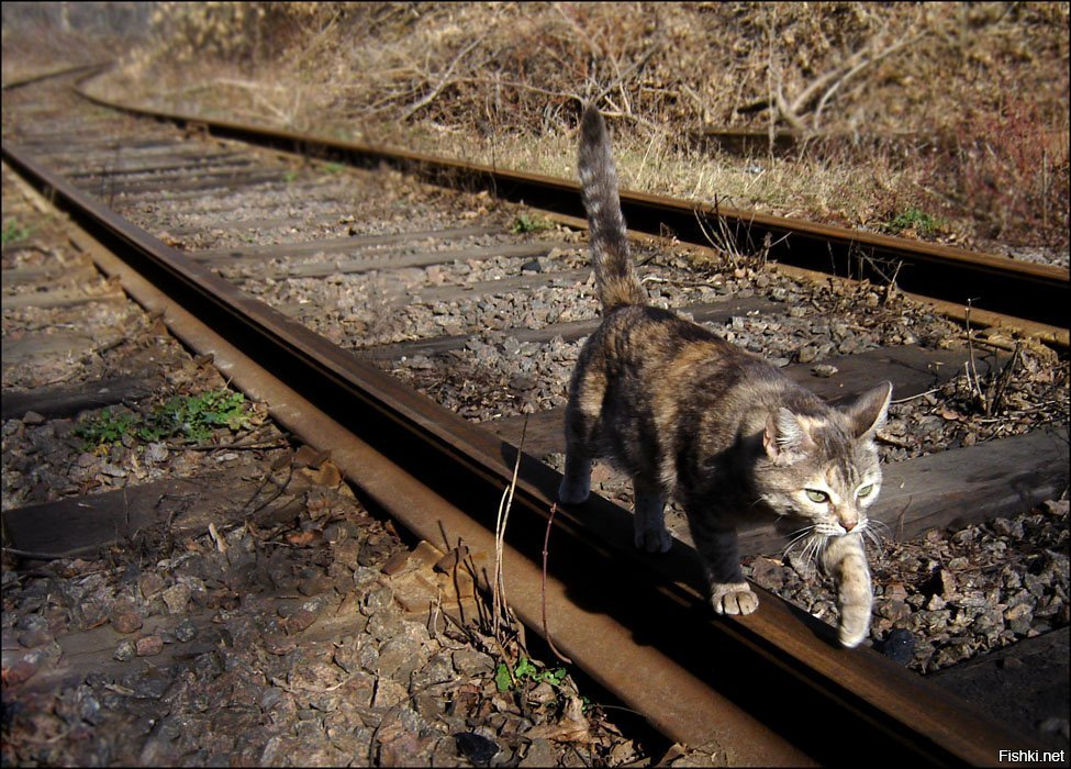 кошка по рельсам картинки этот период