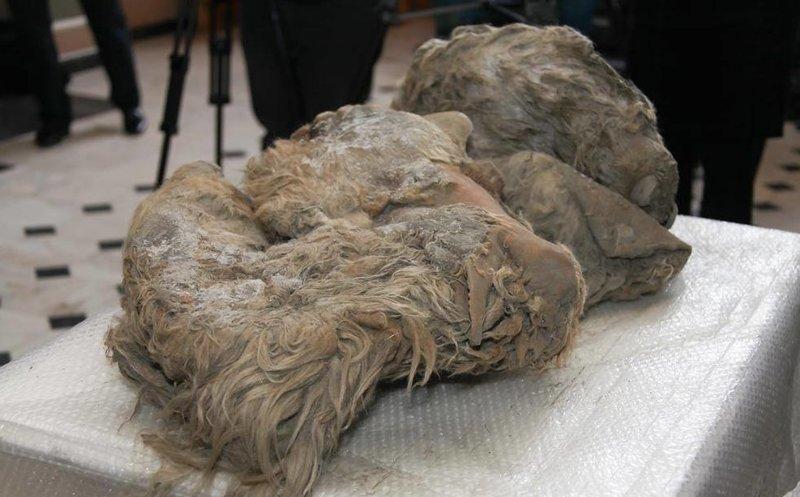 Замороженный детёныш шерстистого носорога Мамонты, интересное, мумии, находки, палеонтология, подо льдом, фото