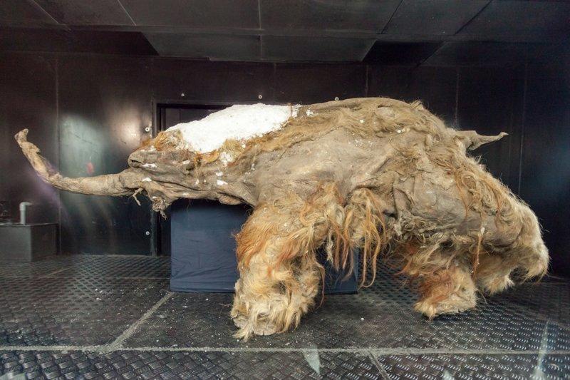 Мамонтёнок Юка Мамонты, интересное, мумии, находки, палеонтология, подо льдом, фото