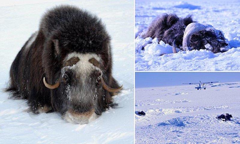Ледяное цунами на Аляске похоронило заживо стадо овцебыков