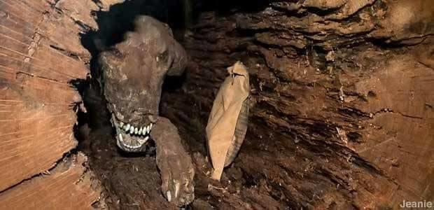 Пёс застрял внутри дерева и превратился в пугающую мумию в мире, жаль, животные, застряла, мумия, собака