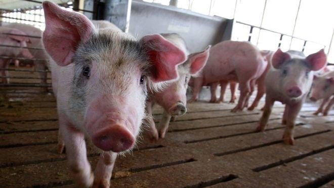 8.  Среди свиней есть свои оптимисты и пессимисты абсурдные теории и открытия, британские ученые, наука в массы, открытия