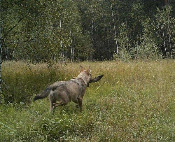 Серый хищник с трофеем. В пасти у волка нога оленя... радиация, факта, фото, чернобль