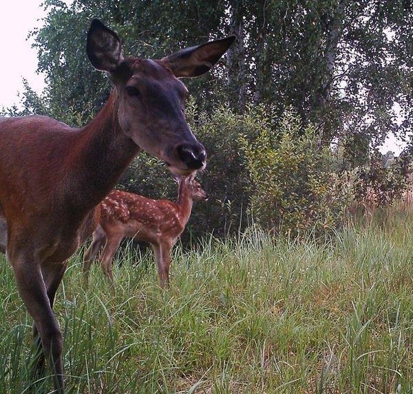 Самка оленя с олененком. радиация, факта, фото, чернобль