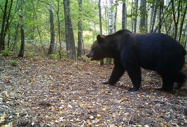 В 30-километровой зоне появились даже медведи, которых в здешних краях не было более 100 лет! радиация, факта, фото, чернобль
