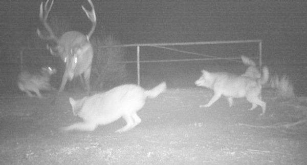 Волки загнали оленя-подранка. радиация, факта, фото, чернобль