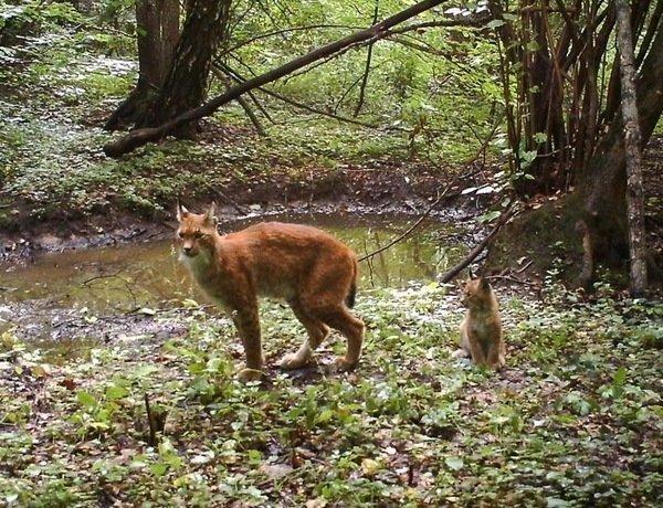 Самка рыси пришла на водопой с котенком. радиация, факта, фото, чернобль