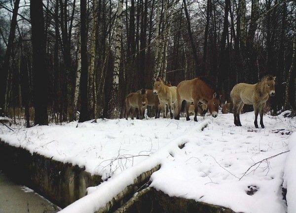 Привезенные в начале 90-х лошади Пржевальского отлично себя чувствуют. радиация, факта, фото, чернобль