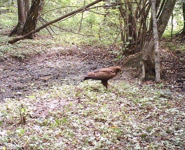 Еще одна краснокнижная птица — малый подорлик. радиация, факта, фото, чернобль