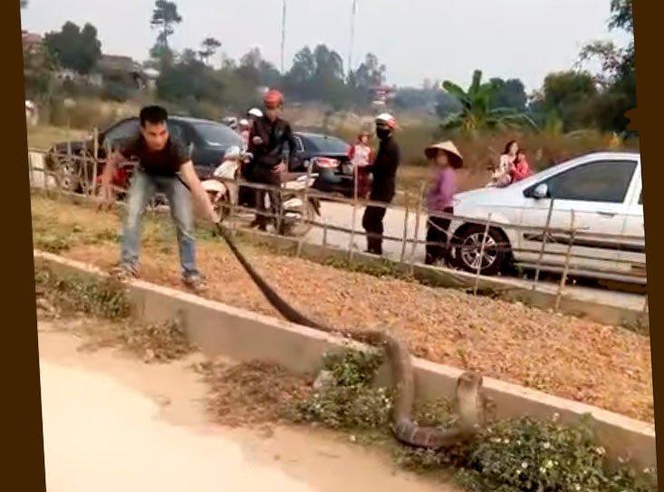 Огромная кобра стала причиной затора на вьетнамской дороге: видео ynews, Вьетнам, автомобили, видео, дорога, животные, змея, кобра, пробка