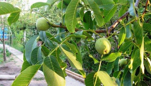 Орехи. Часть 1 арахис, описание, орехи