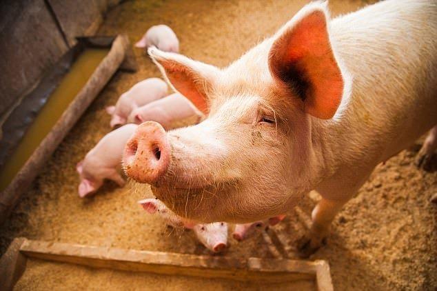 Известно, что органы свиней используются во многих областях медицины, так как их генетика схожа с человеческой. бионический протез, здоровые, медицина, наука, половые органы, стволовые клетки, ученые, хирург