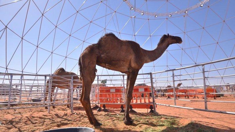 Верблюдов из-за ботокса дисквалифицировали на конкурсе красоты в Саудовской Аравии Саудовская Аравиия, арабы, ботокс, в мире, верблюд, животные, конкурс