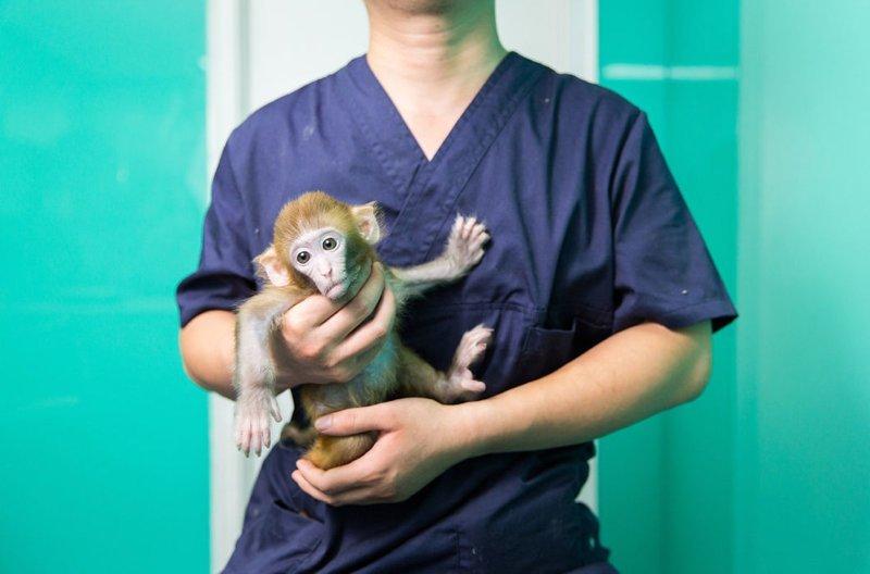 Макак-резус на руках ветеринара в пекинском магазине в мире, домашний питомец, животные, китай, питомцы, экзртика