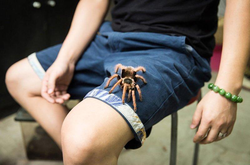 36-летний Чжан Бо и его мексиканский красноколенный паук-птицеед на пекинском птичьем рынке в мире, домашний питомец, животные, китай, питомцы, экзртика