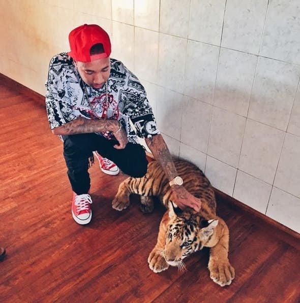 Тига - тигр домашние животные, домашние любимцы звезд, звезды, знаменитости, мое зверье, необычно, оригинально, питомцы