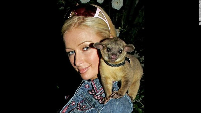 Пэрис Хилтон - кинкажу домашние животные, домашние любимцы звезд, звезды, знаменитости, мое зверье, необычно, оригинально, питомцы