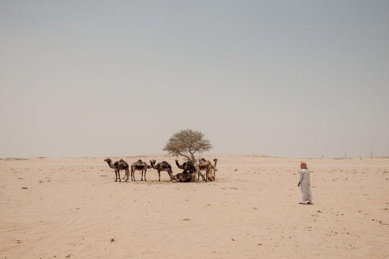 А как же верблюды? арабские страны, ближний восток, в мире, катар, кризис, политика, факты, фото