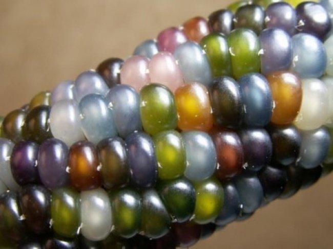 Сорт разноцветной кукурузы «Стеклянная Гемма» (Glass Gem). взгляд изнутри, необычные вещи, новый ракурс, фото