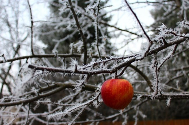 Яблоко все еще висело на ветке в декабре взгляд изнутри, необычные вещи, новый ракурс, фото