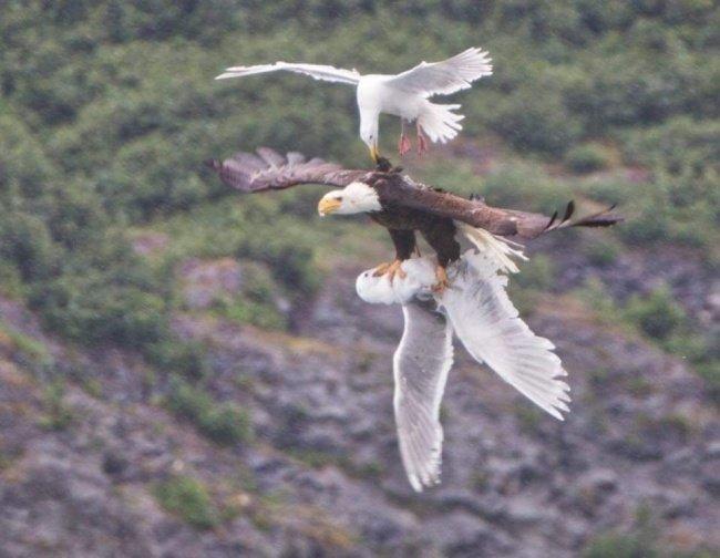 Чайка пытается спасти друга из когтей орла. взгляд изнутри, необычные вещи, новый ракурс, фото