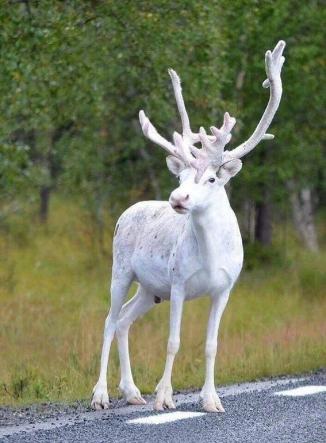 В Швеции обнаружили крайне редкого белого оленя взгляд изнутри, необычные вещи, новый ракурс, фото