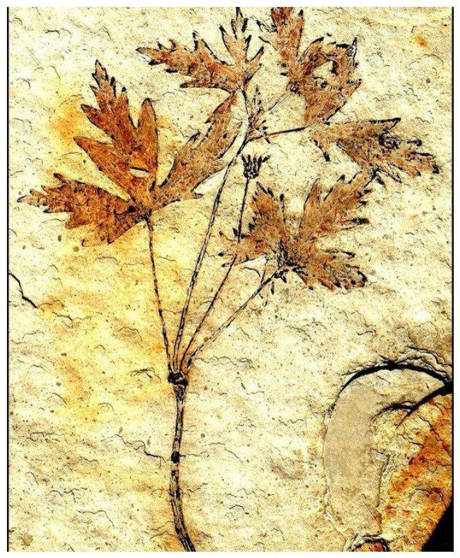 125 миллионов лет назад рос предок современного василька (предположительно) интересное, красота, наука, окаменелости, отпечатки, прошлое