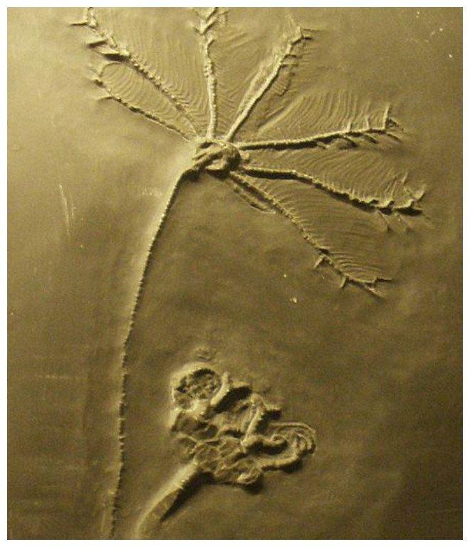 Ископаемое Hapalocrinus, вымершие иглокожие. Музей Naturalis, Лейден, Нидерланды. интересное, красота, наука, окаменелости, отпечатки, прошлое