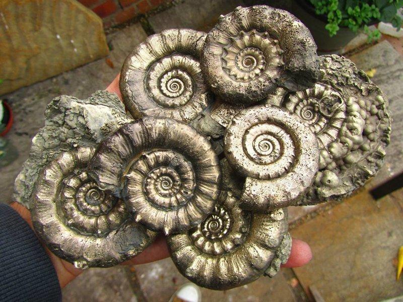 Амониты, скелет которых замещен пиритом интересное, красота, наука, окаменелости, отпечатки, прошлое
