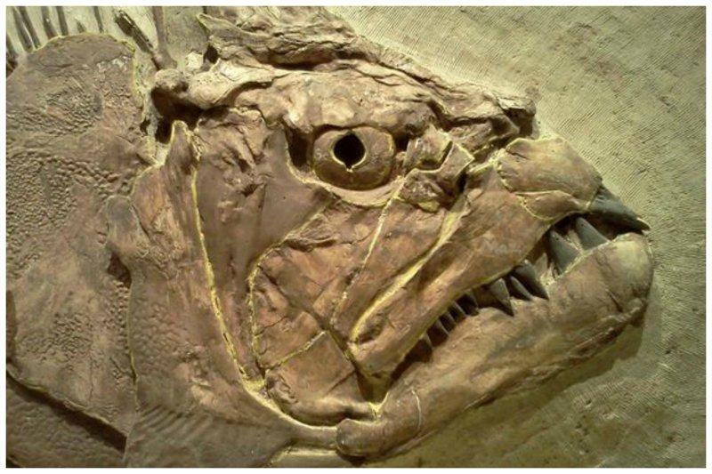 Xiphanctinus (aka Portheus) molossus, однажды плыл в меловом море, которое покрывало большую часть современного Канзаса. Его размер от 4,5 до 6 метров интересное, красота, наука, окаменелости, отпечатки, прошлое