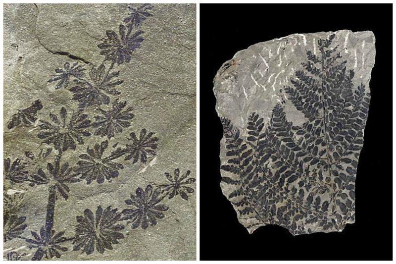 Annularia Fossil - хвощ из каменноугольного периода и Семенной папоротник (Neuropteris heterophylla) интересное, красота, наука, окаменелости, отпечатки, прошлое
