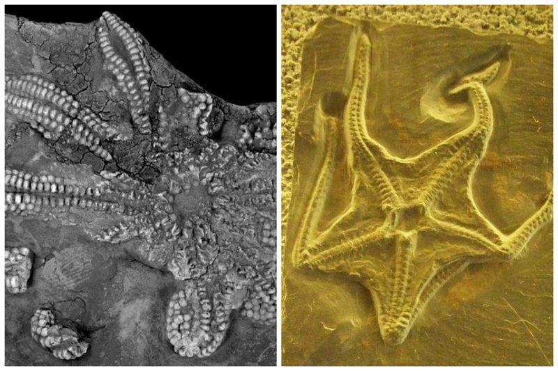 Ископаемое Encrinaster, вымершее иглокожие. Музей Naturalis, Лейден, Нидерланды. интересное, красота, наука, окаменелости, отпечатки, прошлое