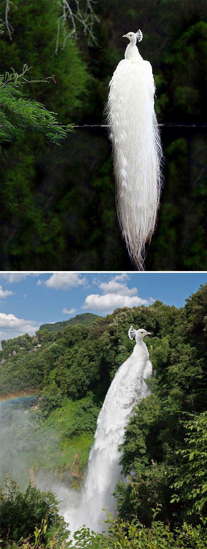 11. Белый павлин животные, забавно, люди, подборка, фотошоп, юмор