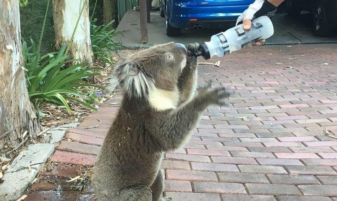 Велосипедист остановился, чтобы дать попить коале. И этот маленький парень лишил его запаса воды велосипедист, вода, добро, животные, коала, милота