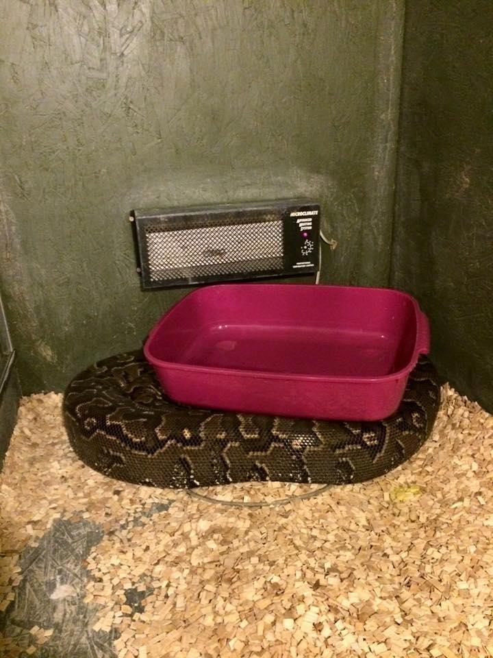 Любитель змей был задушен своим двухметровым питоном в мире, животные, змея, люди, питон, удав, удушение