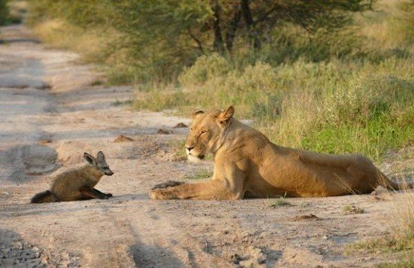 Два льва приблизились к раненому лисенку… Затем произошло то, что не поддается объяснению! Царь зверей, животные, интресное, история., лев, лисенок, львица, сострадание