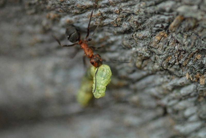 Муравьи и птицы не мешают друг другу есть гусениц интересно, мир, природа, удивительное, факты